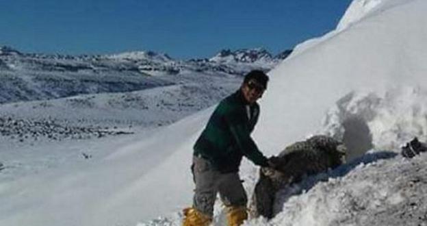 """Las grandes nevadas en Chubut (Argentina) """"entierran"""" bajo la nieve a decenas de animales"""