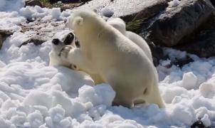 Osos polares de un zoo de Finlandia reciben nieve para mitigar las altas temperaturas