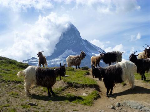 Cabras delante de Matterhorn Zermatt