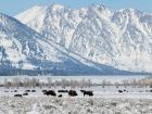 Búfalos en Jackson Hole, estación de esquí de Wyoming