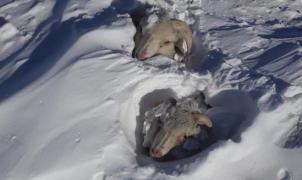 Miles de animales sepultados por las nevadas y la ola de frío en la Patagonia