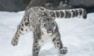 """Un leopardo de las nieves """"caza"""" esquiadores en Gulmarg (India)"""