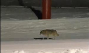 El lobo vuelve a la Vall de Núria