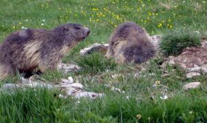 Polémica por si la construcción de una nueva pista de esquí pone en riesgo las marmotas