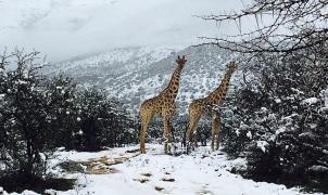 """Una fuerte nevada """"sorprende"""" a los animales de la sabana africana"""