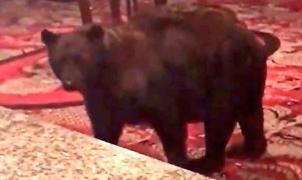 Un oso se pasea por la recepción de un hotel en Colorado