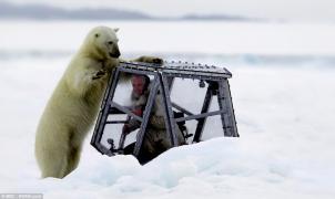 Asombroso vídeo de un oso polar que intenta entrar en la jaula de un cámara