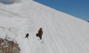 ¡Lucha por la supervivencia! Un osezno batalla en la pendiente nevada para seguir a su madre