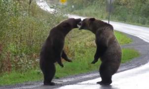 Espectacular pelea de dos osos Grizzlies en una carretera de Canadá