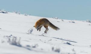 Vídeo: Courchevel, lugar de 'glamurosos' esquiadores, ahora zona de juegos de los zorros