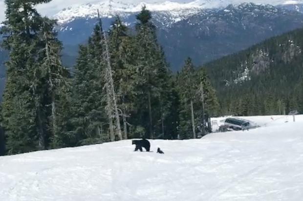 Un esquiador se encuentra a una mamá oso y a dos cachorros por las pistas de Whistler Blackcomb