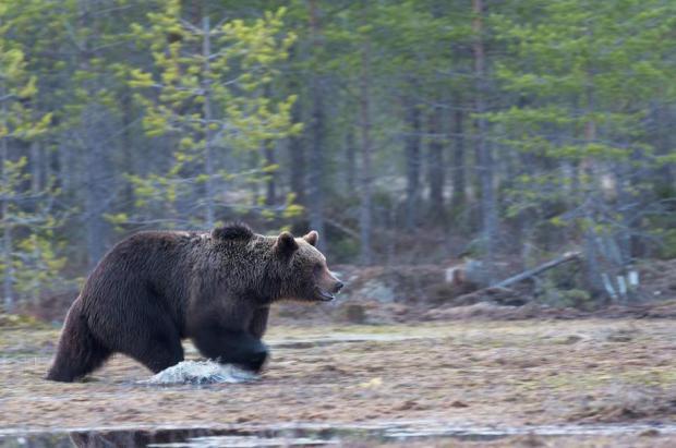 """Un niño de 3 años sobrevive 2 días perdido en el bosque con la ayuda de un oso """"amistoso"""""""