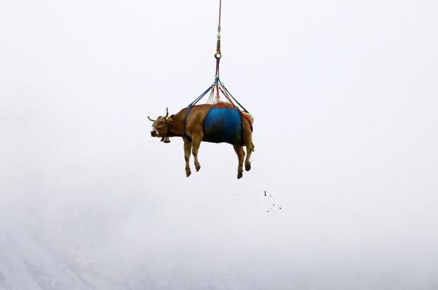 Vacas suizas heridas son rescatadas en helicóptero desde los pastos alpinos