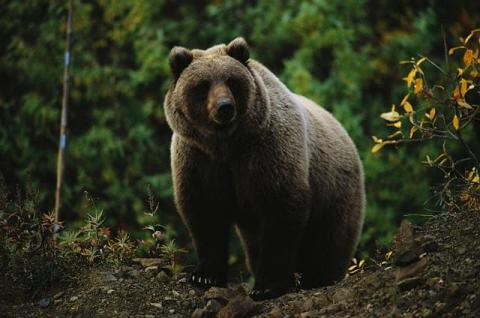 Oso Grizzlie en Canadá