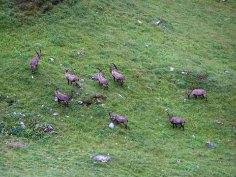 Cabras montesas de camino a la cabaña Memminger