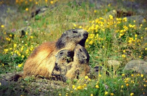 Marmotas en Val d'Aran. Aran Experience