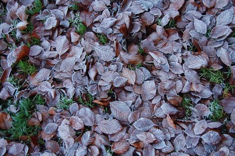 Escarcha sobre hojas en otono. Efecto de la resublimación